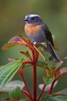 Rufous-breasted Chat Tyrant. (Member of the Tyrant-flycatcher family)
