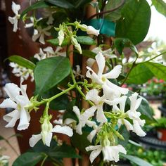 Confederate Jasmine - Light:SunPart Sun Plant Type:Vine Plant Height:To 28 feet tall Plant Width:To 20 feet wide Flower Color:White Variegated Leaves Bloom Time:Spring Summer Landscape Uses:Beds & BordersPrivacy Evergreen Groundcover, Evergreen Vines, Jasmine Vine, Jasmine Plant, Deck With Pergola, Diy Pergola, Pergola Ideas, Types Of Soil, Types Of Plants