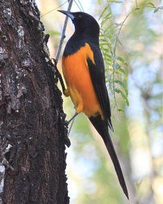 Black-vented Oriole - Icterus wagleri | Rio Grande Valley, Texas