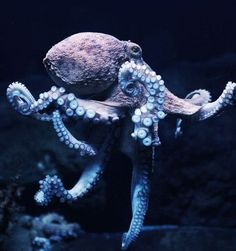 PetsLady's Pick: Graceful Octopus Day Octopus Of The Day Kraken Octopus, Octopus Art, Beautiful Sea Creatures, Animals Beautiful, Cute Animals, Octopus Photography, Colorful Fish, Tropical Fish, Octopus Tattoos