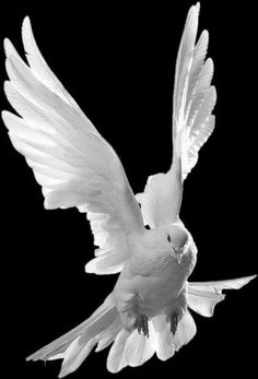 Birds ©: A Dove in Flight! Dove Pictures, Jesus Pictures, Fall Pictures, Dove Images, Iphone Background Images, Love Background Images, Beautiful Birds, Animals Beautiful, Dove Flying