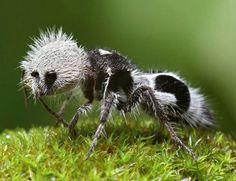 Velvet ant / Cow ant