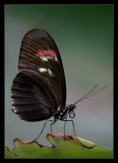 Heliconid Butterfly