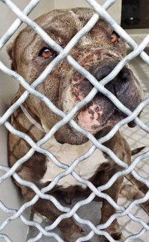 California, Carson.  Please share to find this heartbreaking girl a home  Sweet dog with wounds on her face urgently needs rescue