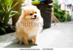 Explore 386 high-quality, royalty-free stock images and photos by pattarawat available for purchase at Shutterstock. Cute Pomeranian, Royalty Free Images, Stock Photos, Dog, Cats, Animals, Gatos, Animales, Animaux