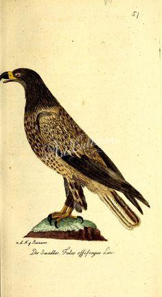 falco ossifragus      ...
