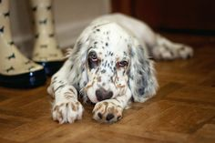 A sulky English Setter puppy. Photographed by Pouka Fine Art Pet Portraits.