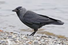 Western jackdaw / Corvus monedula / Галка