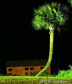 "A Favorite Tree ""Palmetto Palm"" near a boat house in Palatka, FL my hometown."