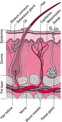 Structure and Function of the Skin: Biology of the Skin: Merck Manual Home Edition