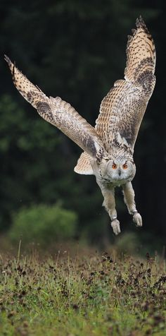 Picture of an owl in flight - Eule Pretty Birds, Beautiful Birds, Animals Beautiful, Owl Photos, Owl Pictures, Animal Action, Owl Bird, Baby Owls, Animals And Pets