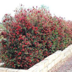 BOTTLEBRUSH-TREE-SLIM-Callistemon-viminalis-Live-Plant-Hummingbird-Feeder-Red