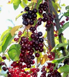 Chokecherry Berries (Prunus Virginiana) in Ontario