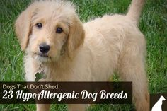 Goodbye Hair! 23 Dogs That Don't Shed: Hypoallergenic Dog Breeds - http://go.homesalive.ca/blog/bid/320916/Dogs-That-Don-t-Shed-23-Hypoallergenic-Dog-Breeds