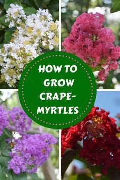 Crape Myrtles Are The Essential Summer Tree If you live in the southern half of the country, you kno Flowering Shrubs, Trees And Shrubs, Dogwood Trees, Southern Landscaping, Crepe Myrtle Landscaping, Landscaping Ideas, Crepe Myrtle Trees, Tomato Growers, Tomato Seedlings