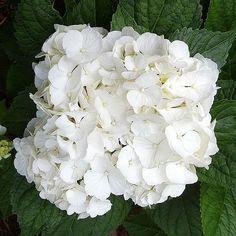 White Hydrangeas 'Magical Pearl' Bigleaf Hydrangea 3-4 feet tall part sun afternoon shade