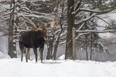 There are an estimated 75,000 moose in Maine – the largest concentration of moose in the country next to Alaska.