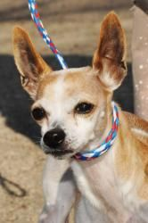 Wynn is an adoptable Chihuahua Dog in Lambertville, NJ. WYNN is a tan and white male Chihuahua. He is about 3 years-old and weighs 6 pounds. The little tyke came into the shelter with another small Ch...