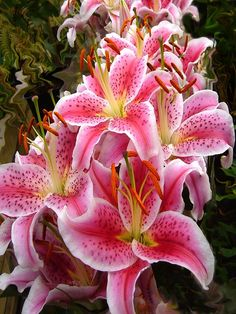 Image on Pixabay - Pink, Lilies, Lily, Flowers ✯ Stargazer Lilies My absolutely favorite flower and scent! I bloom perfumes a whole room!✯ Stargazer Lilies My absolutely favorite flower and scent! I bloom perfumes a whole room! Amazing Flowers, My Flower, Pretty Flowers, Lilly Flower, Cactus Flower, Exotic Flowers, Tropical Flowers, Purple Flowers, Garden Tattoos