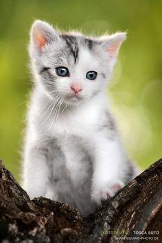 Grey and White Kitten | cats | | kittens | #cats #cutecats   https://biopop.com/