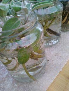 First propagated sage stems in the Herb house in the Heritage Park