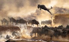 Winner, Hong Kong, National Awards: In July each year, a heart-pounding scene of wildebeest migration repeats itself in Kenya.(© Chi Hung Cheung, 2014 Sony World Photography Awards)