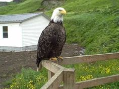 ▶ My Cats Hanging Out with the Eagles - YouTube - Can't imagine being able to get this close to an eagle !