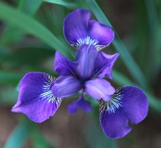 A perfect iris / opens its flowery eye / beautiful vision.