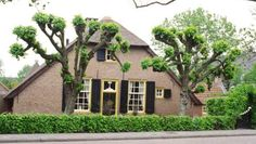 Old trained lime trees near a farm in Hoevelaken (NL) | Topiary and espalier trees