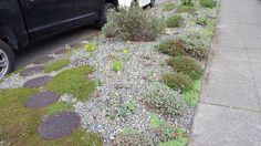 Moved some volunteer lavender into some of the bare spots here.