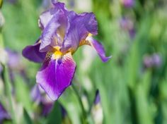 Follow these instructions on how to divide irises and develop new varieties.