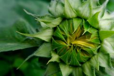 In My Garden #Sunflower July 2017 https://uk.pinterest.com/annbri