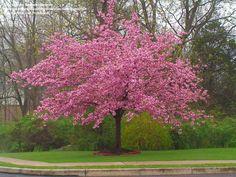 Kwanzan Cherry Tree | : Flowering Cherry, Sheraton Cherry, Kwanzan Cherry, Kanzan Cherry ...