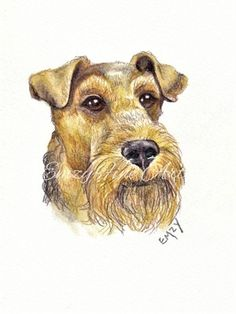 Airedale Terrier Small Head Study in watercolour Pencil