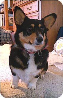 Salem, OR - Corgi. Meet Emma, a dog for adoption. http://www.adoptapet.com/pet/15234023-salem-oregon-corgi