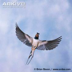 Barn swallow flying with prey in its beak