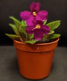 african violet Jolly Royal semi-miniature  plant in 2 inch pot #africanviolet