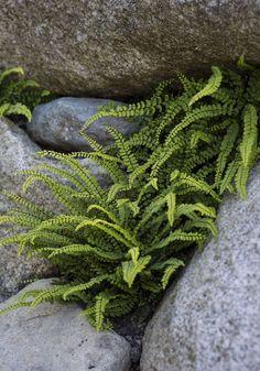 Fern Asplenium Trichomanes More More Ferns Garden ...