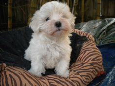 Jerry is a VERY happy and energetic little Maltese. There is nothing or no one he doesn't love. His favorite thing is to be carried and hugged and kissed. Foster mom said he follows her all day watching her. Hes very good with both dogs and cats....