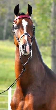 Graycliff Tony...perfection of the Morgan horse
