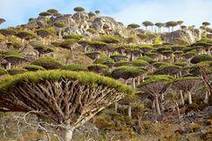 dragontrees   socotra   foto: mark.w. moffet