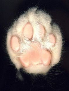 Creative Feline, Paw, Cats, Foot, and Cat image ideas & inspiration on Designspiration Beautiful Cats, Animals Beautiful, Cute Animals, Animal Gato, My Animal, Crazy Cat Lady, Crazy Cats, Cat Paws, Dog Cat
