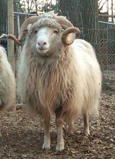 Historically, this was the sheep breed raised by the Navajo for their woven rugs. The breed has one of the widest ranges of natural colors of any sheep breed.  Navajo-Churro Sheep