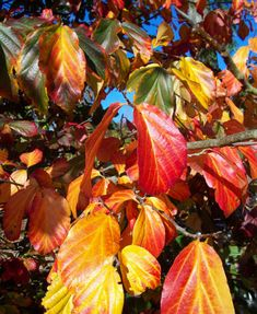 parrotia persica tree - Google Search