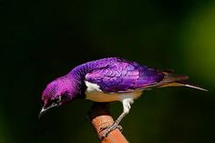 The Violet-backed Starling (Cinnyricinclus leucogaster), also known as the plum-coloured starling or amethyst starling, is a relatively small species of starling in the Sturnidae family. This strongly sexually dimorphic species is found widely in the woodlands and savannah forest edges of mainland sub-Saharan Africa. It is rarely seen on the ground