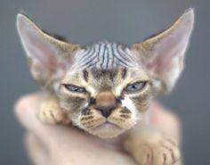 Debon Rex Cat  crazycatladysupplies.com