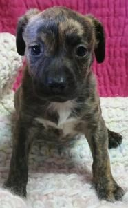 Gemini - Pit Bull Terrier