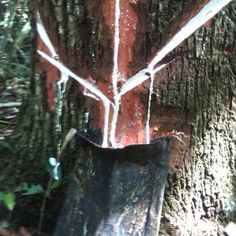 Recolección del látex del árbol del chicozapote