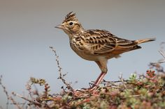 Oriental Skylark, Oriental Lark or Small Skylark - Indian sub-continent and S.E. Asia