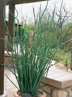 photos of low water and drought tolerant plants Common Name: Slipper Flower, Botanical Name: Pedilanthus macrocarpus Low Water Landscaping, Landscaping Plants, Front Yard Landscaping, Arizona Landscaping, Potted Plants Patio, Outdoor Plants, Outdoor Gardens, Drought Tolerant Landscape, Desert Plants